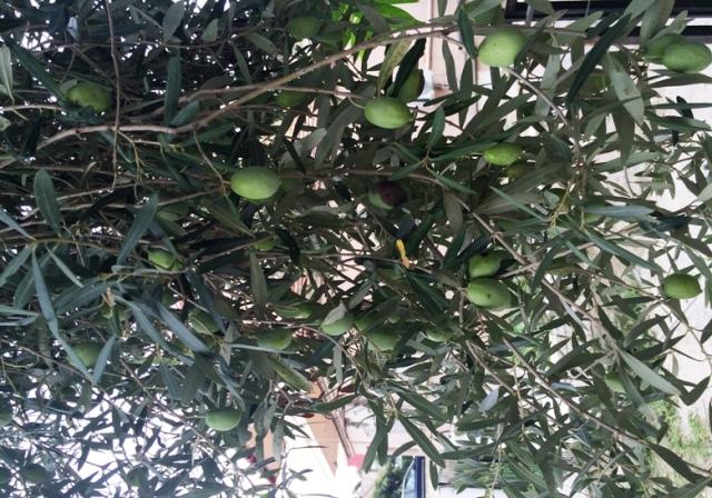 Оливковой дерево