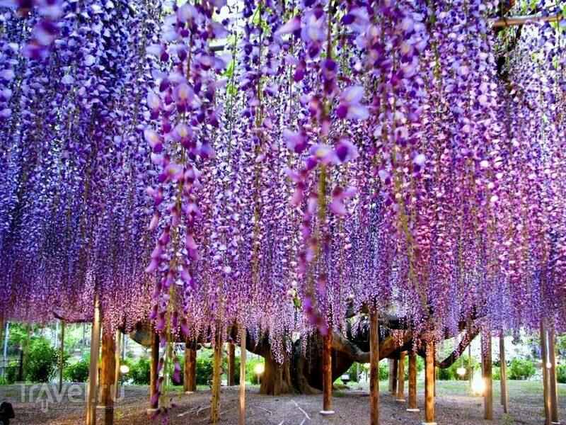 Сады глициний (фудзи). Япония