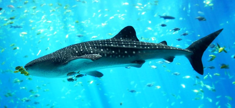 ББР. Китовая акула