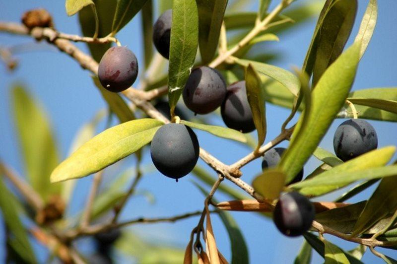 Оливки в Каламата.
